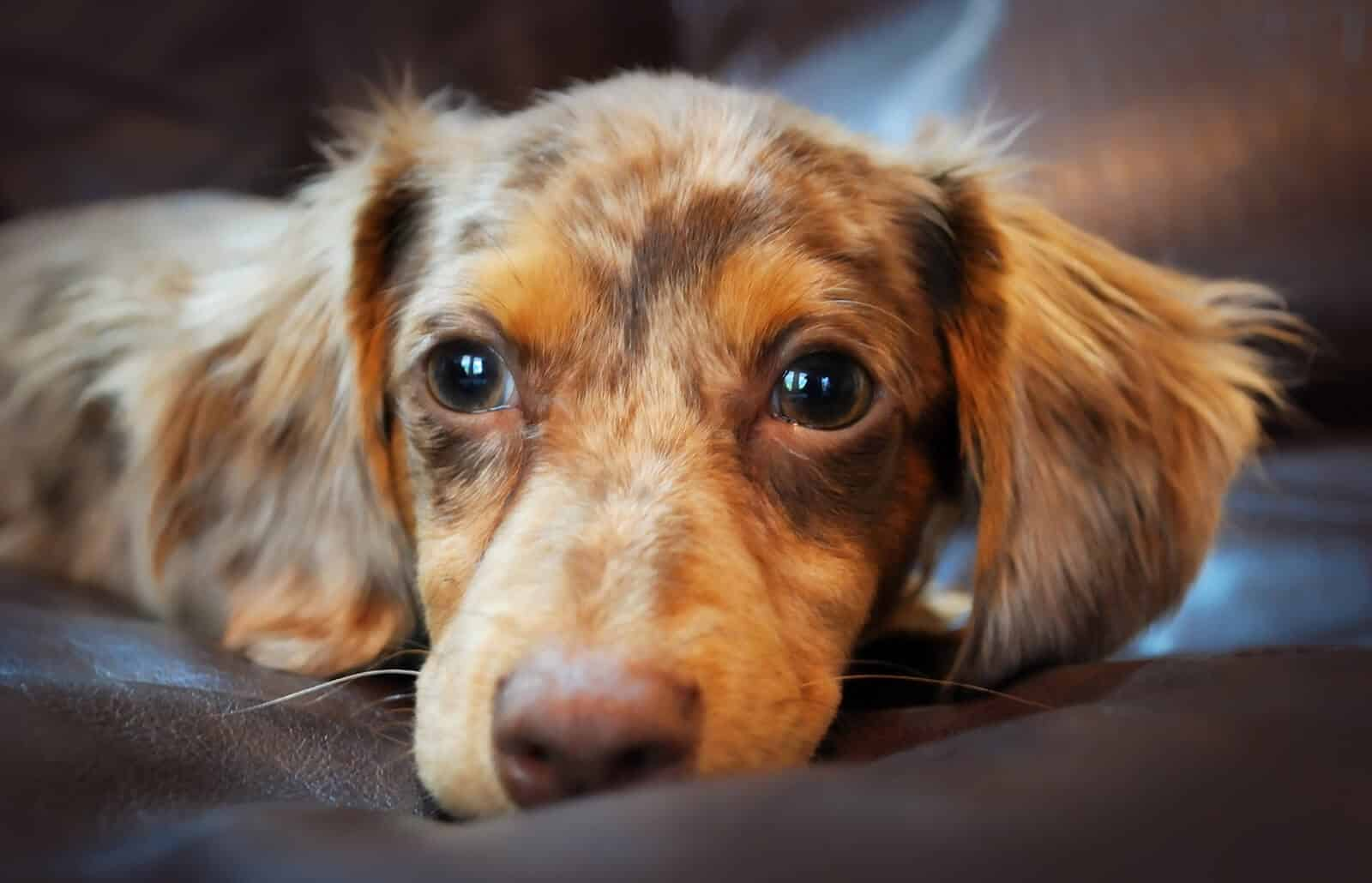 chiweenie hond