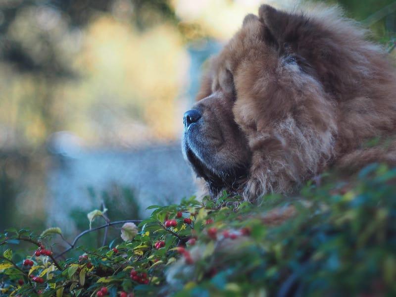 chowchow hond