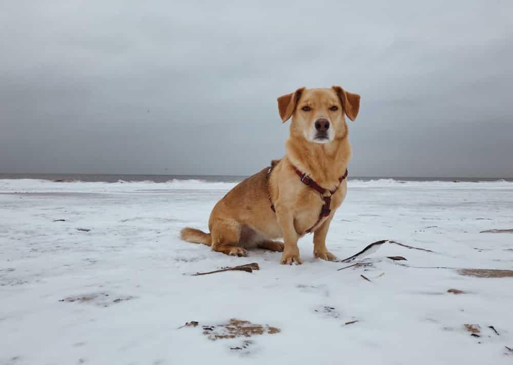 corgidor hond