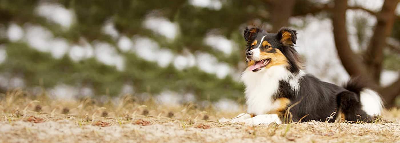 cosheltie hondenras