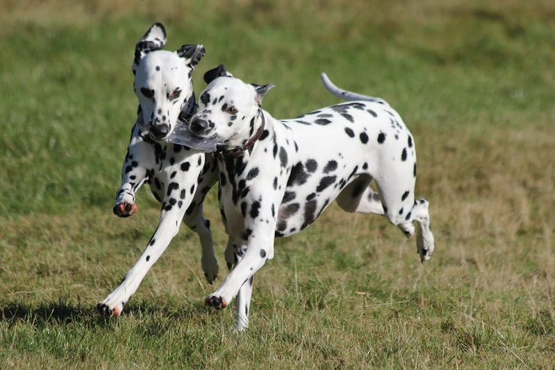 dalmatiër hond