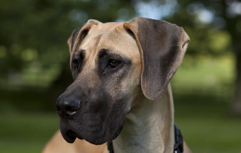duitse dog hond