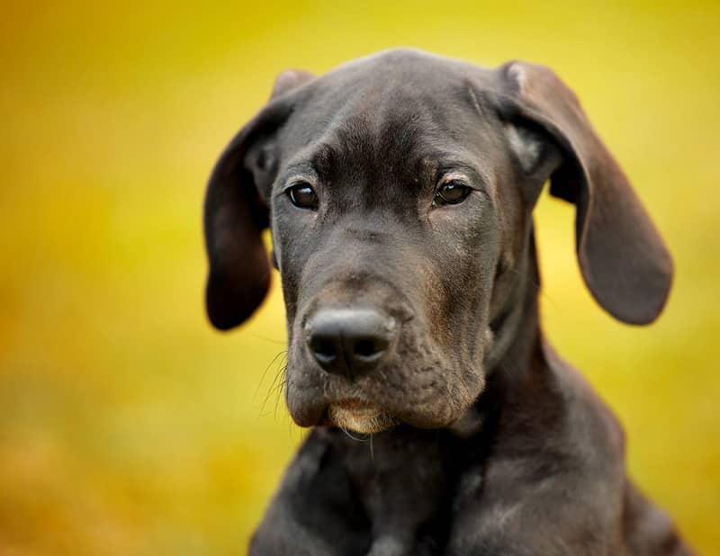 duitse dog pup