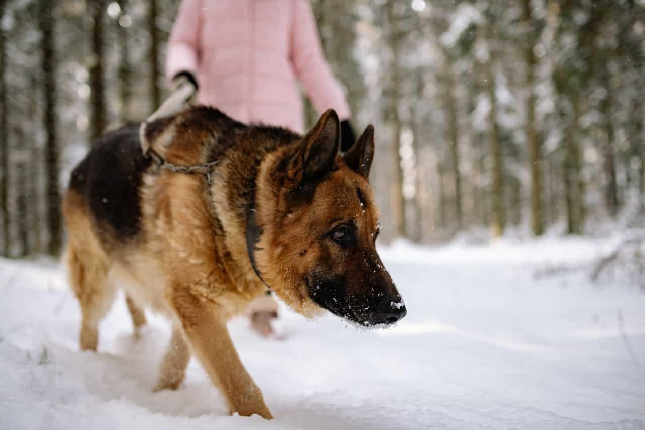 duitse herder hondenras