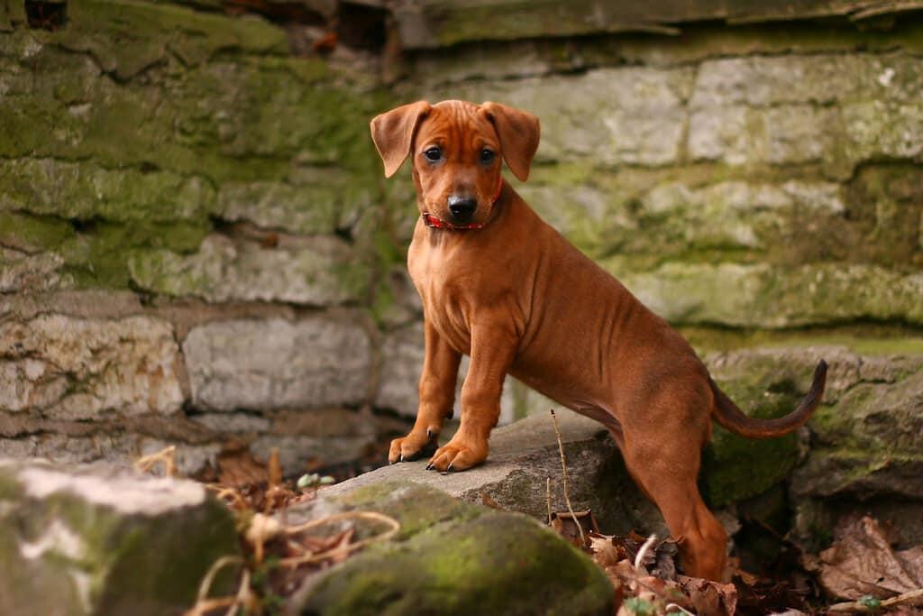 duitse pinscher pup