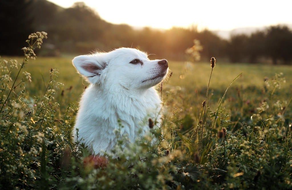 duitse spitz hondenras