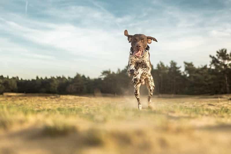 duitse staande hond kort