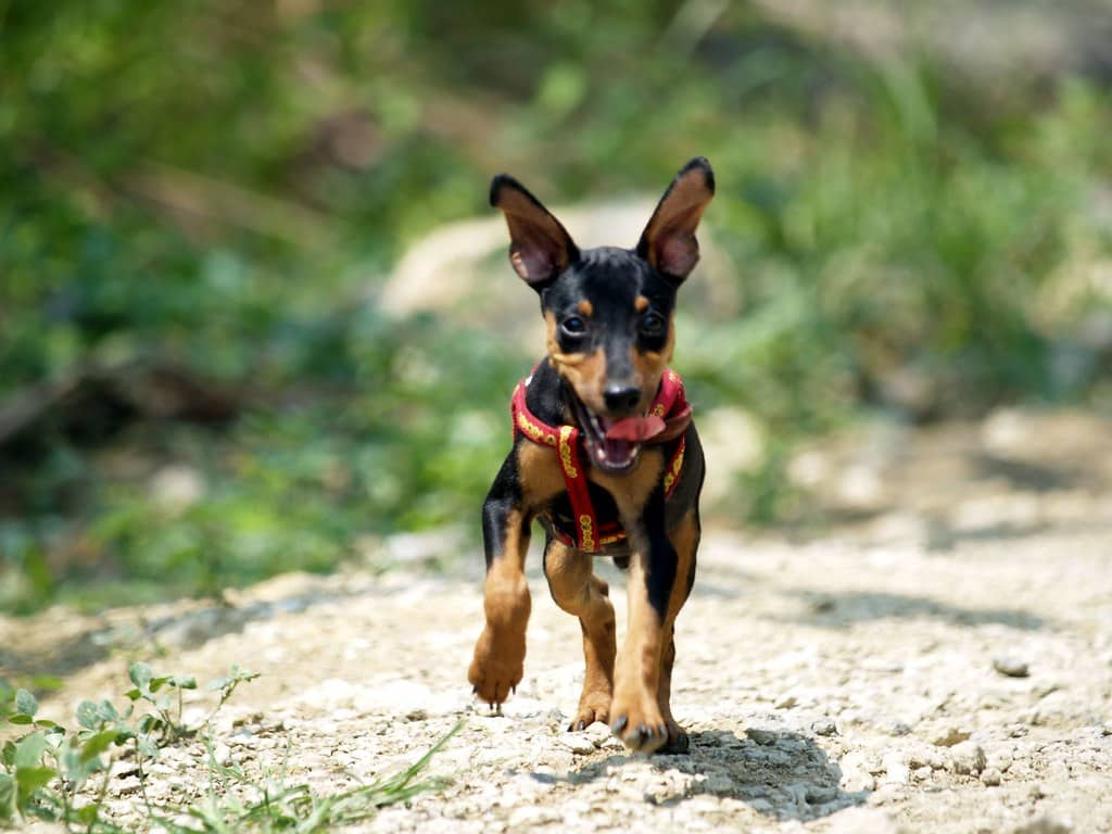 dwergpinscher pup