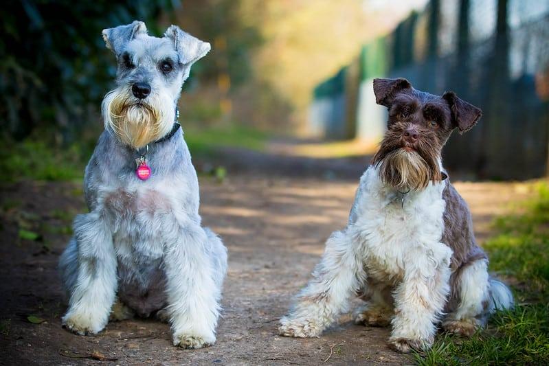 dwergschnauzer hondenras
