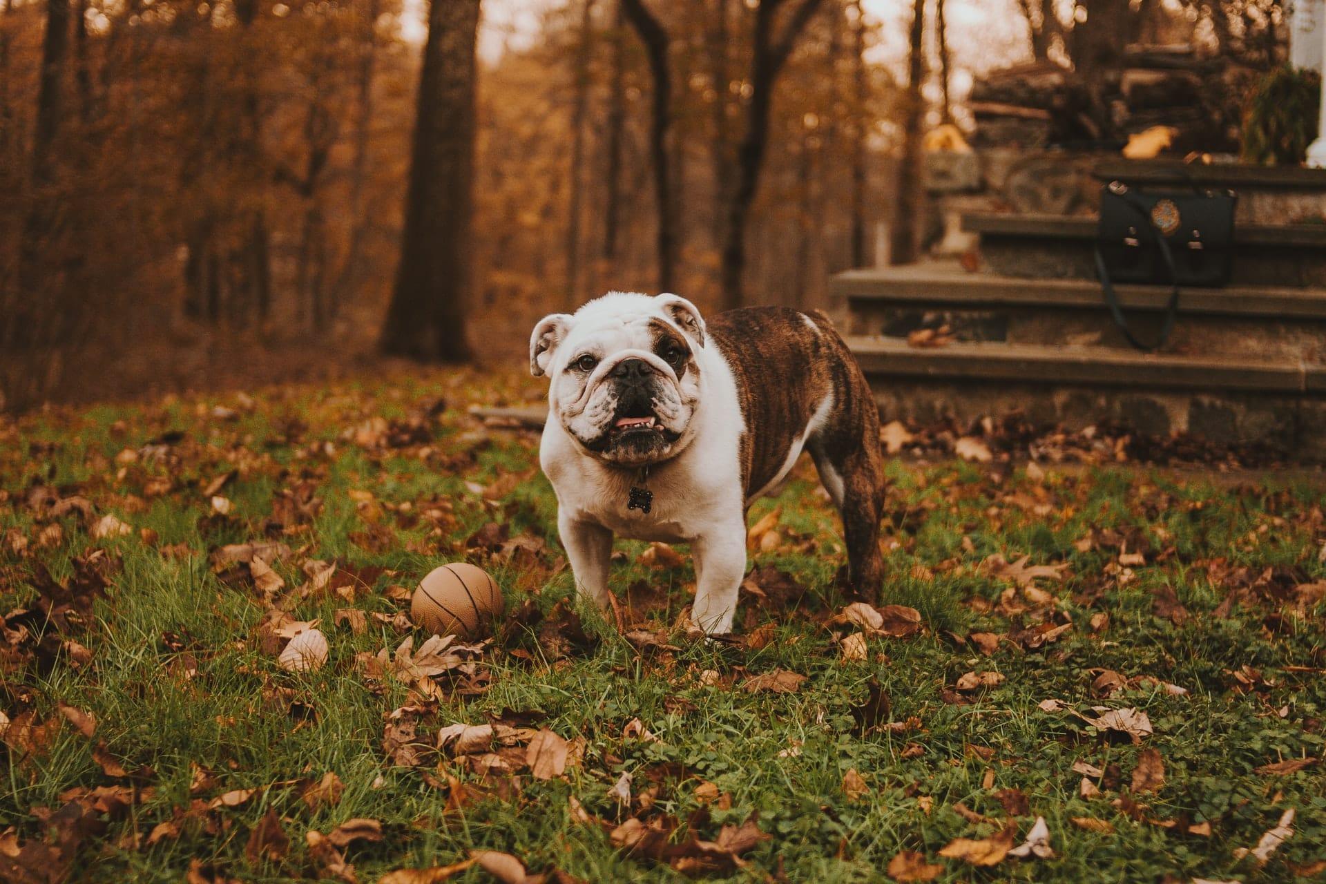 engelse bulldog hondenras