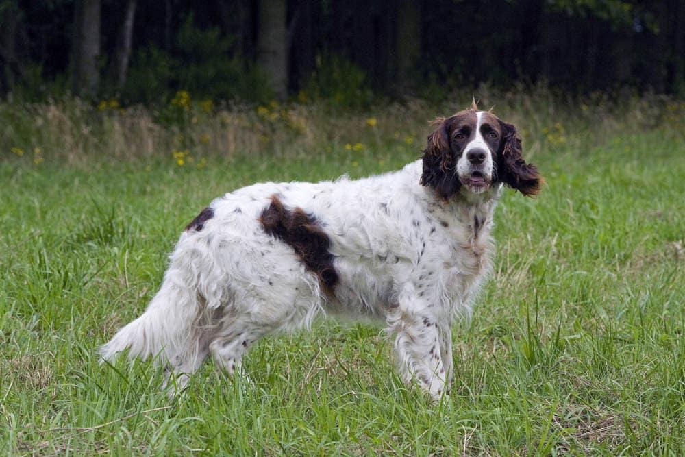 epagneul français hondenras