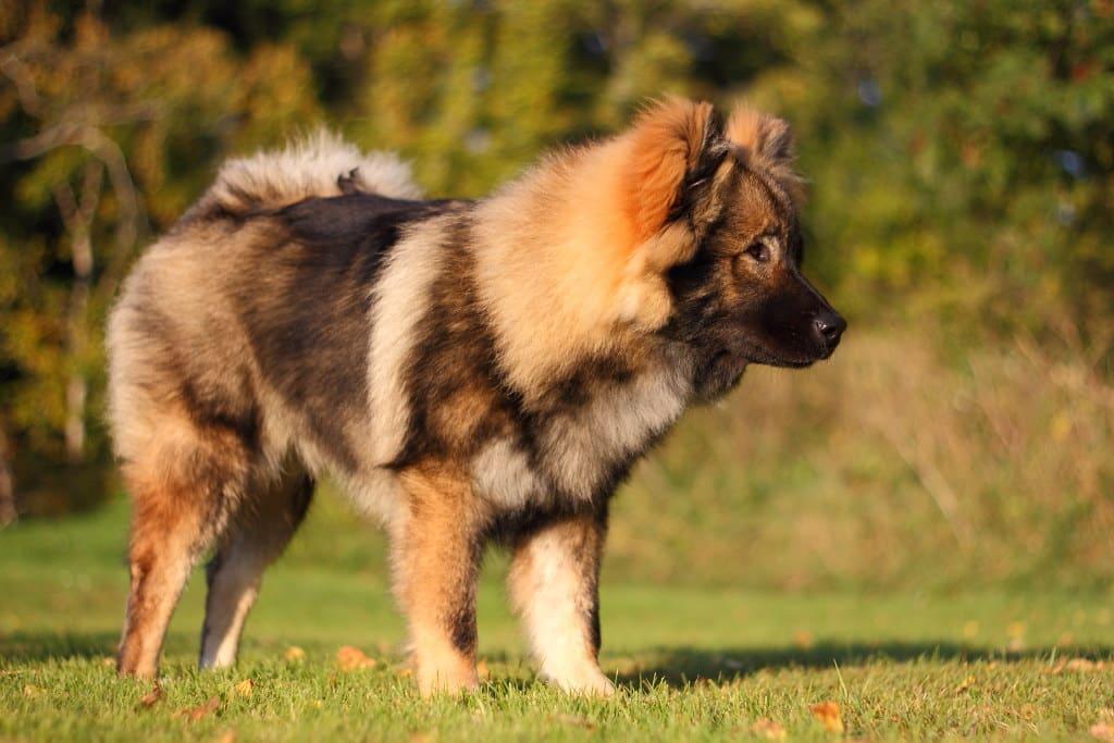 eurasier hondenras