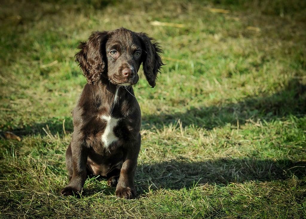 fieldspaniel pup