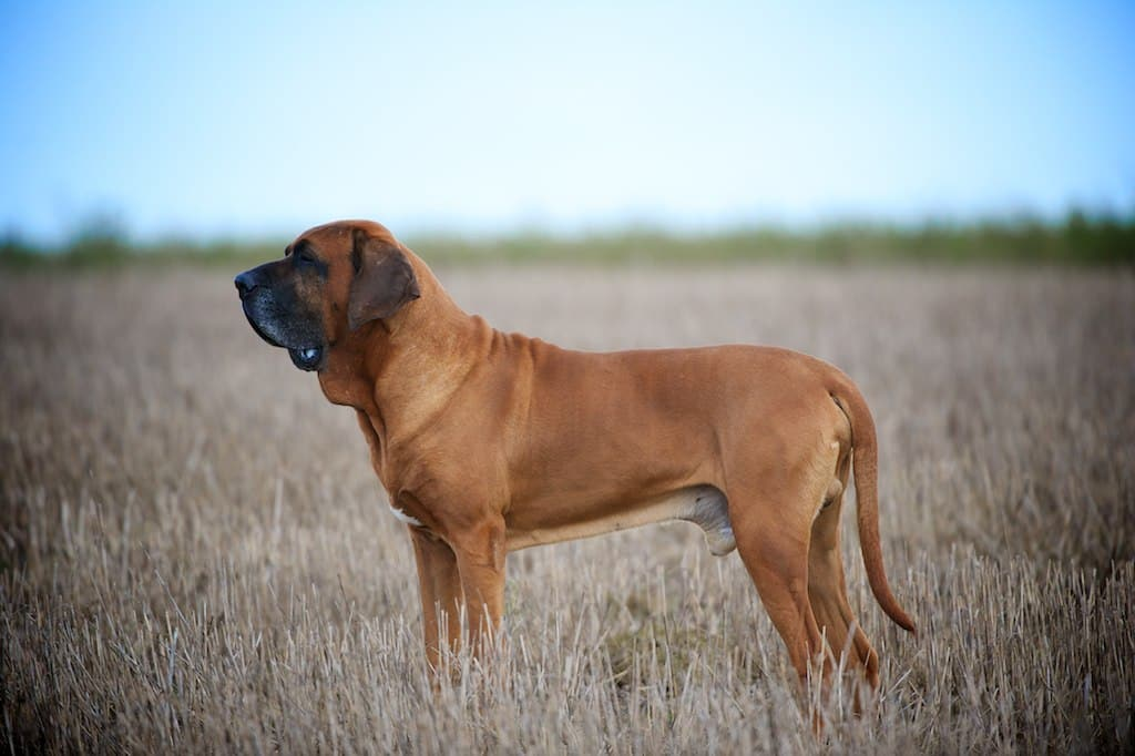 fila brasileiro hond