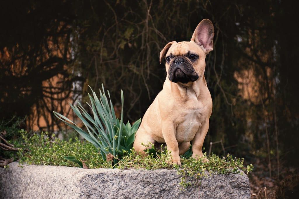 franse bulldog hondenras