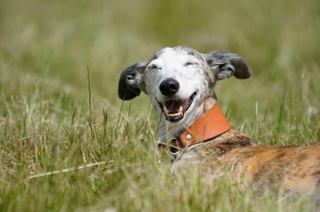 galgo espanol hond