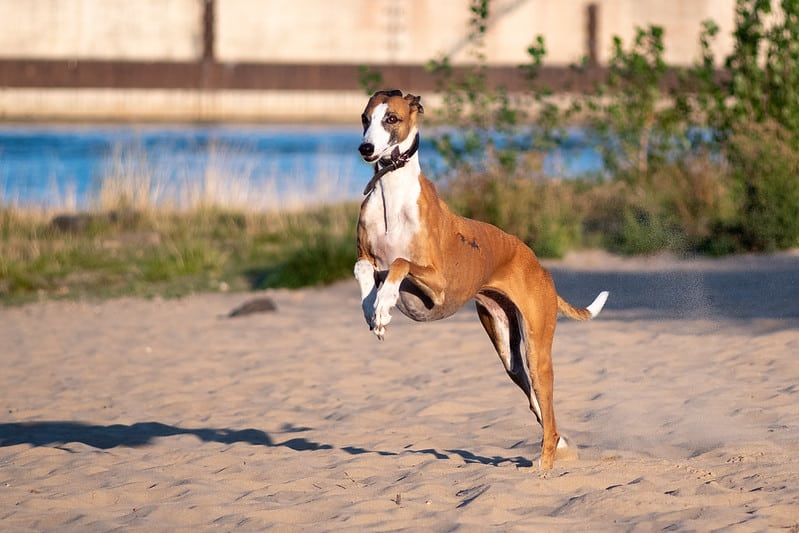galgo espanol hondenras