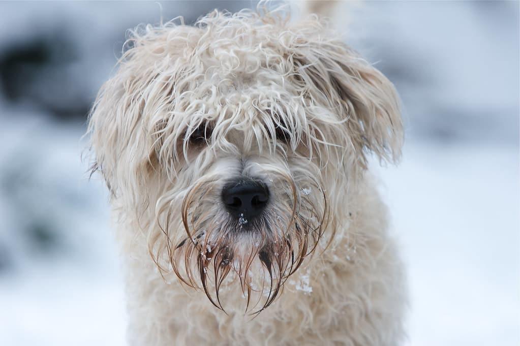 glen of imaal terrier hond