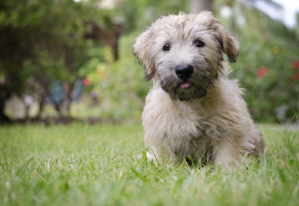 glen of imaal terrier hondenras