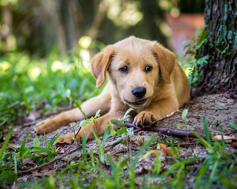 goldador pup