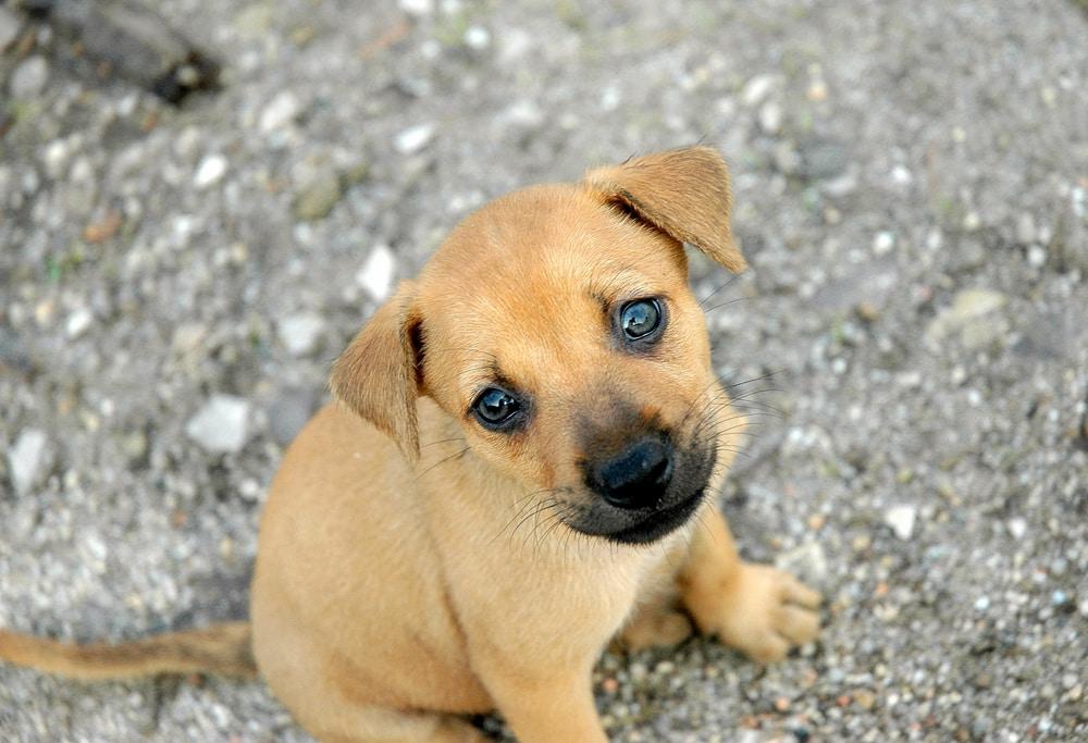 golden boxer pup