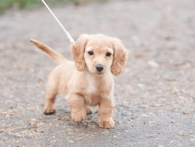 golden dox pup
