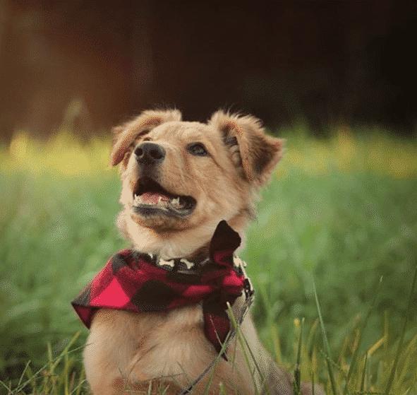 golden herder pup