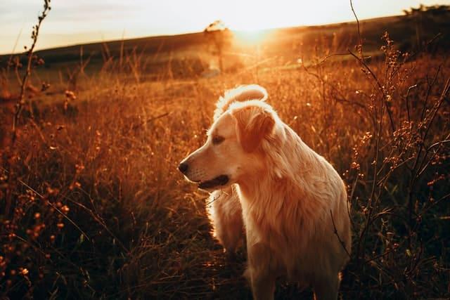 golden retriever hondenras