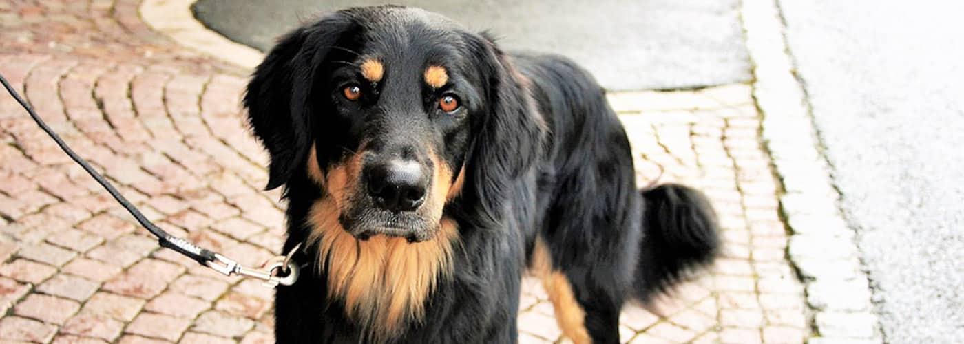 golden rottie hond