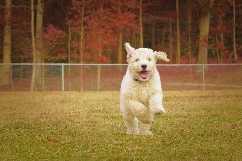 goldendoodle hondenras
