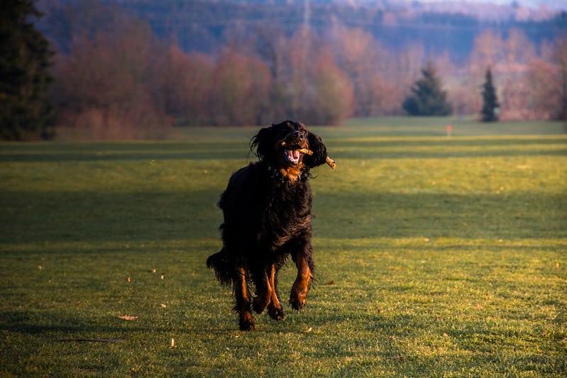 gordon setter hond