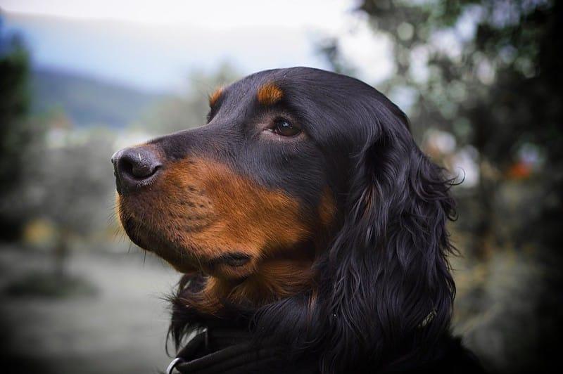 gordon setter hondenras