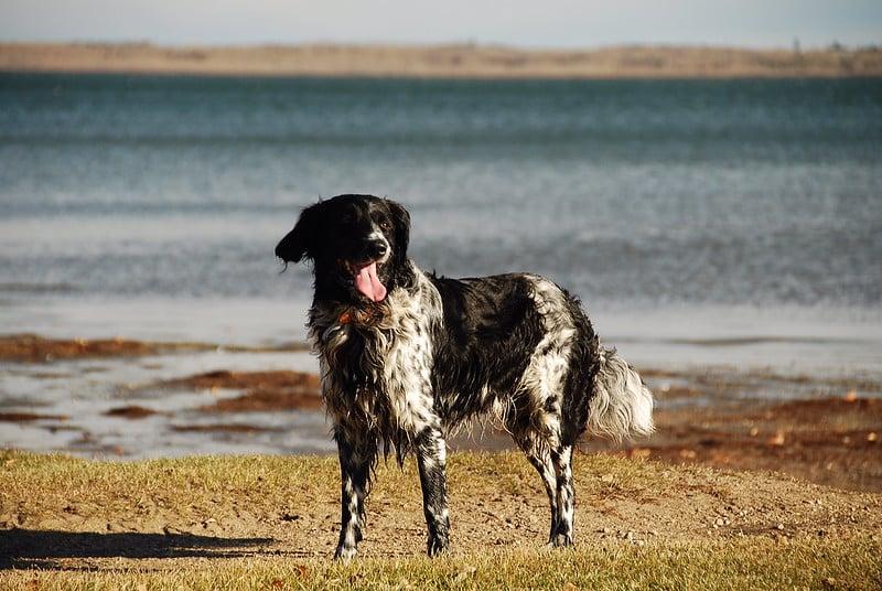 grote munsterlander hond