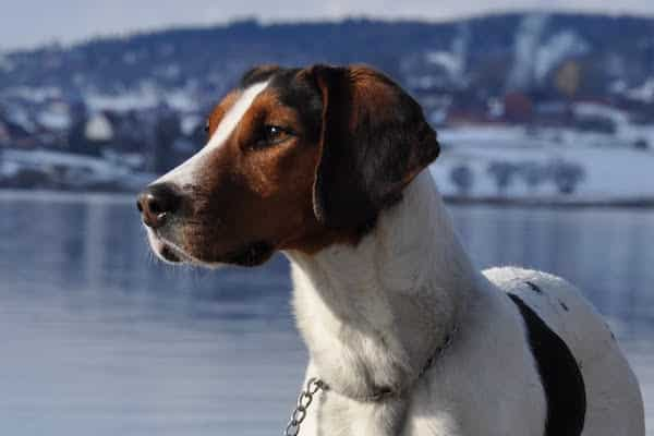 haldenstovare hondenras