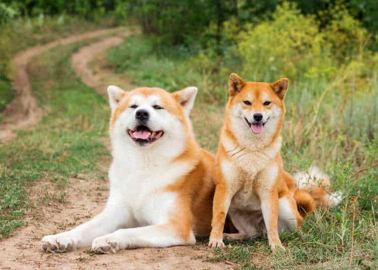 Hokkaido hond