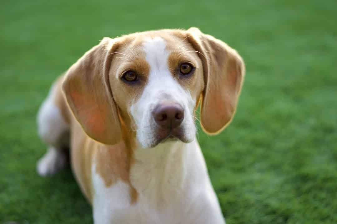 Hygenhund hondenras