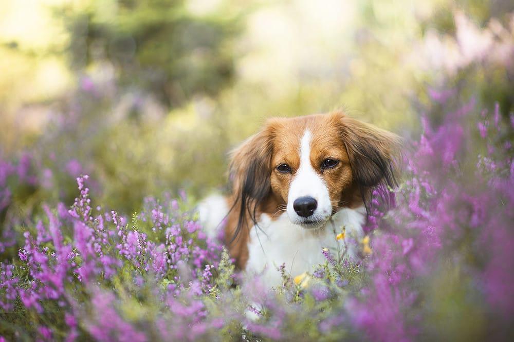 Kooikerhondje hondenras