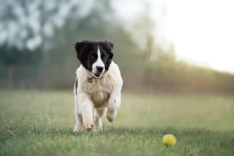 landseer pup