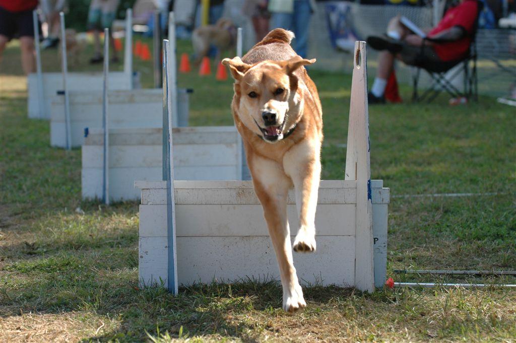 honden flyball