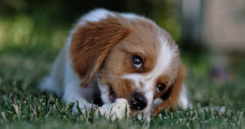 aandachtstrainingen bij een pup