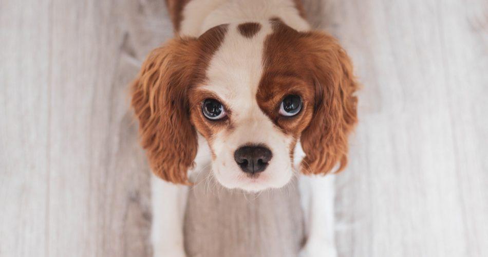hond laten poseren