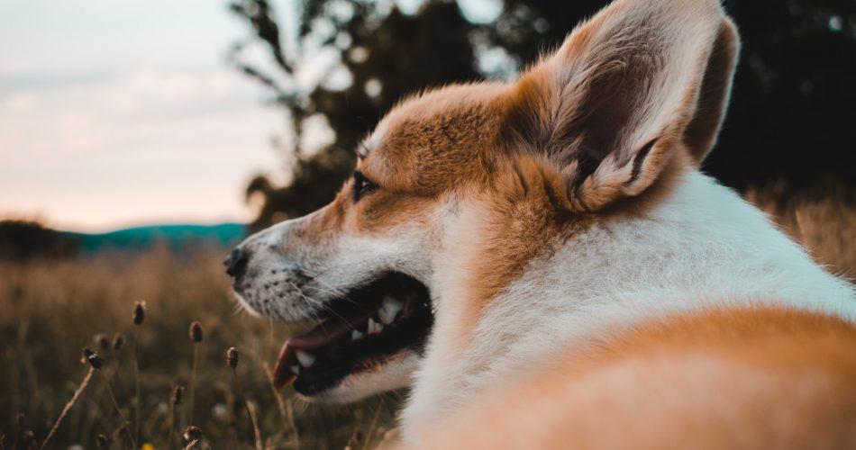 hond vacht verzorgen