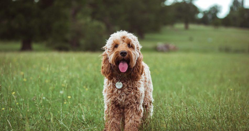 meest voorkomende hondenziektes