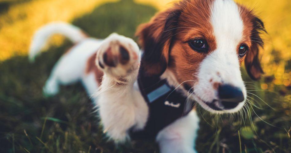 waarom ademt mijn hond snel
